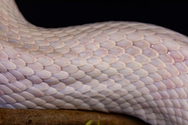 白いヘビの皮、テクスチャ、背景。