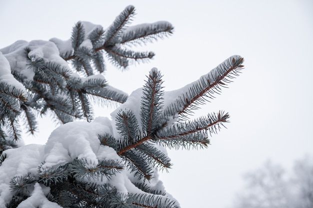 White snow on fir branch in winter park outdoor. spruce branch with snow. closeup, selective focus