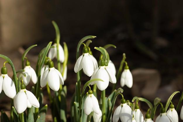 Белые подснежники первые цветы весной цветы в солнечный день