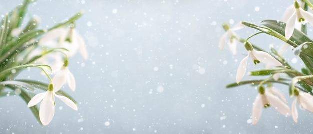 Белые подснежники на синем фоне с копией пространства, выборочный фокус. баннер