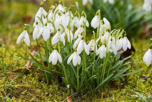 春の自然の風景に白いスノードロップ