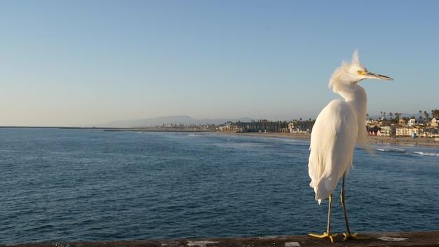 부두 난간, 미국 캘리포니아 오션 비치 바다 물 파도에 흰 스노이 백로. 해안 헤론 새