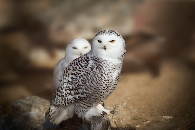 White snowy owl sitting on the rock