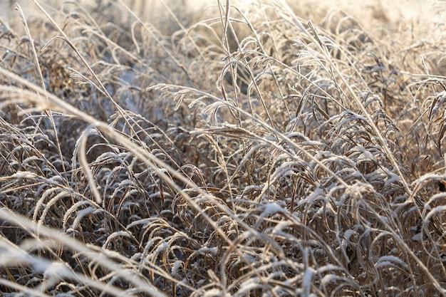 Белый сверкающий иней украшает ветви сухой травы зимой во время восхода солнца в сибири, россия