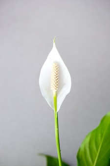 White spathiphyllum blooming flower isolated on grey background close up