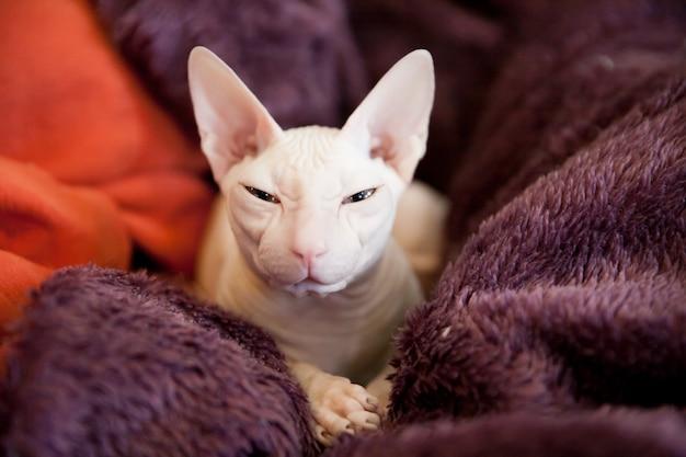 紫のふわふわ毛布に白いスフィンクス猫の肖像画