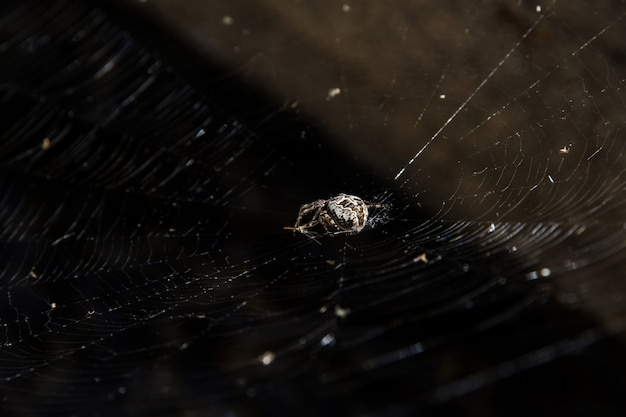 White spider waiting for a prey in a spider web