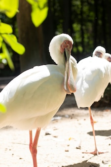 White spoonbill shows its large beak