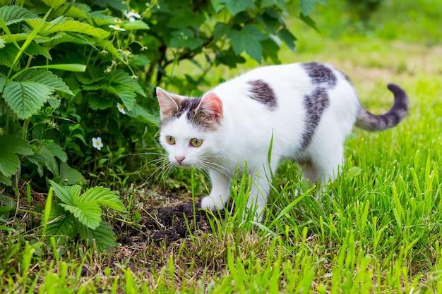 白い斑点のある猫は、ブッシュカラントの隣の庭の草の上に行きます