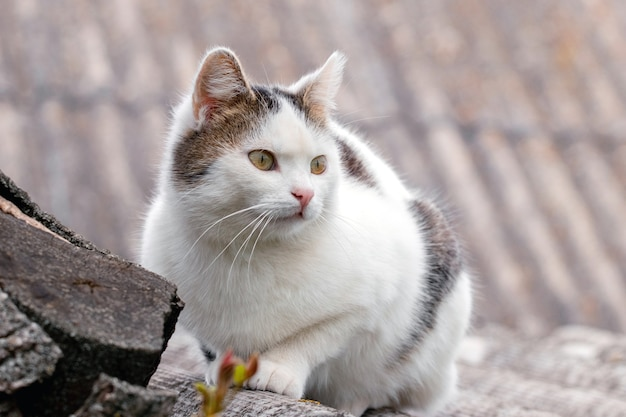 White spotted cat on the roof on a blurred background