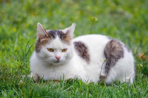 草の上の庭に座っている白い斑点のある猫。