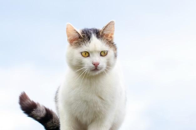 明るい背景に焦点を当てた視線を持つ白い斑点のある猫
