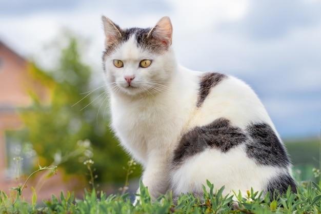 Белая пятнистая домашняя кошка сидит на траве в саду