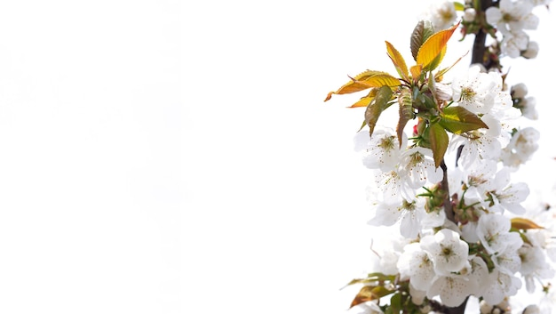 White spring flowers on fruit tree in garden, cherry blossom isolated on white surface