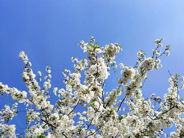 White spring flowers on fruit tree in garden, cherry blossom on light blue sky surface
