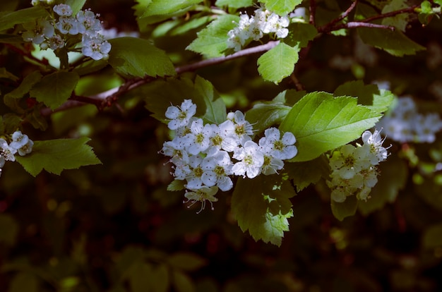 Белые весенние цветы боярышника весной в тени с солнечными лучами на них