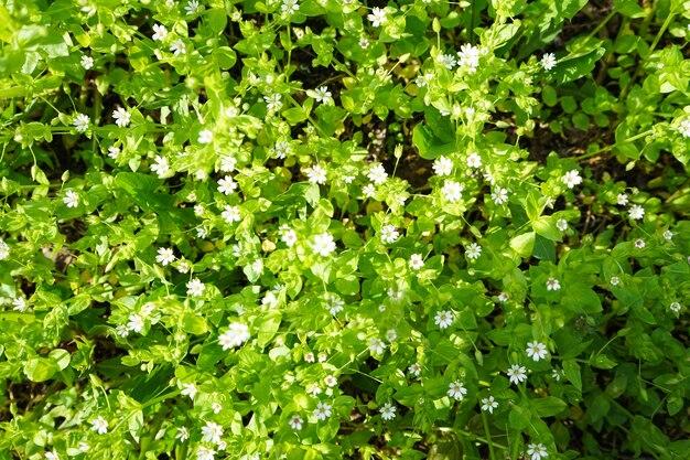 하얀 봄 야생화, 하얀 아네모네. 플랫 레이