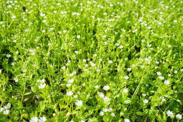 하얀 봄 야생화. 흰색 아네모네.