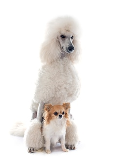 White standard poodle and chihuahua dog