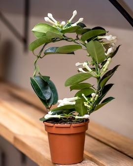 흰색 stephanotis floribunda 꽃 식물