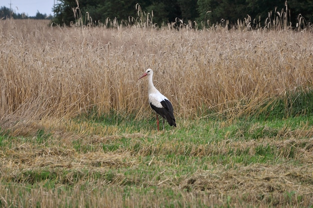 A white stork bird is standing in the field.