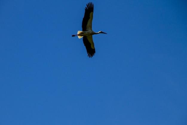 흰 황새 (ciconia ciconia) 비행