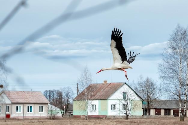 White stork flies past houses