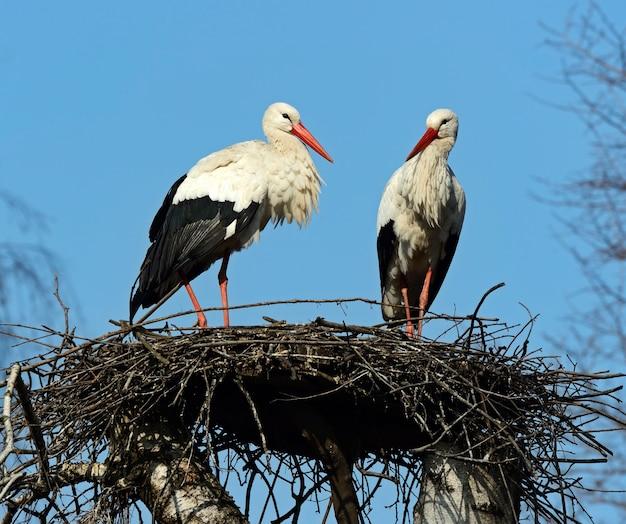 自然の生息地で春に巣に白いコウノトリ