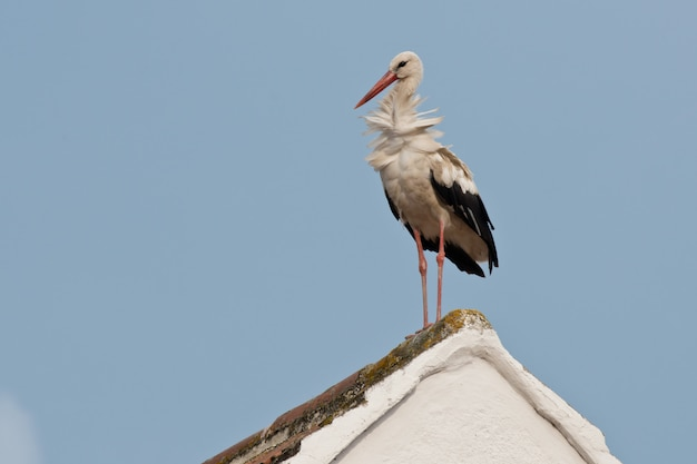 White stork on a roof
