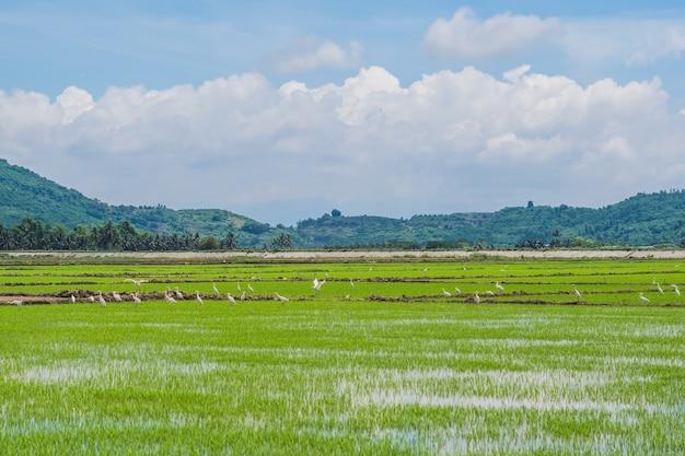 Белые аисты на рисовом поле