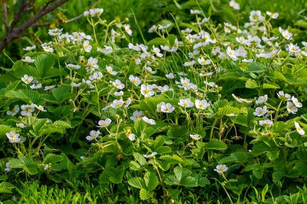 庭の白いイチゴの花