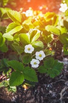 Белые цветы клубники с зелеными листьями