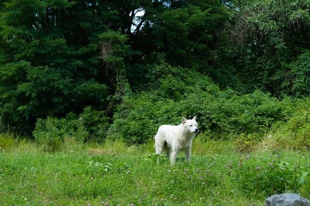 森の中で白い野良犬