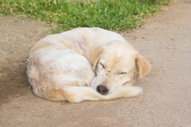 White stray dog sleeping on the ground