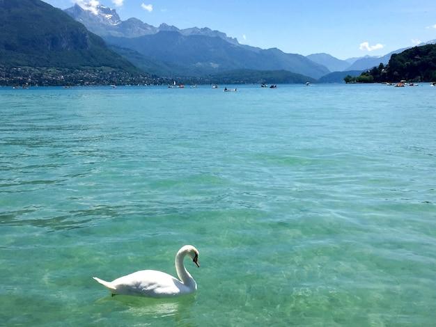 여름날 근접 촬영 안시 프랑스에 하얀 백조와 푸른 호수
