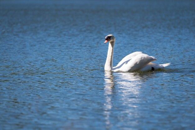 White swan in blue lake