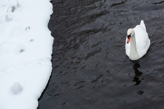 ホワイトスワンは、寒い冬の日に雪に覆われた湖岸近くの水にクローズアップ