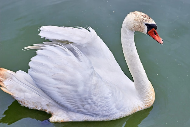Белый лебедь сушит крылья на фоне бирюзовой воды