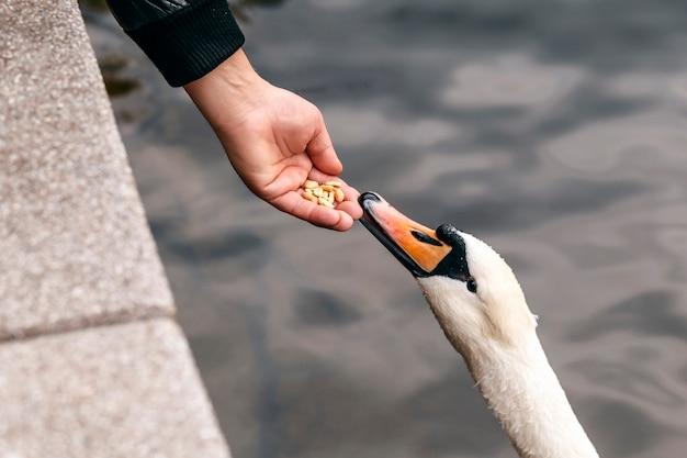 Белый лебедь ест из человеческой руки кормление лебедя арахисом