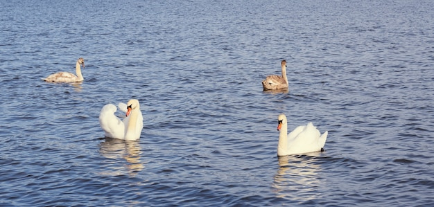 White swan family on the baltic sea coast in finland.
