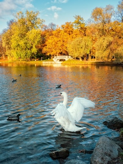 White swan flaps its wings in an autumn park