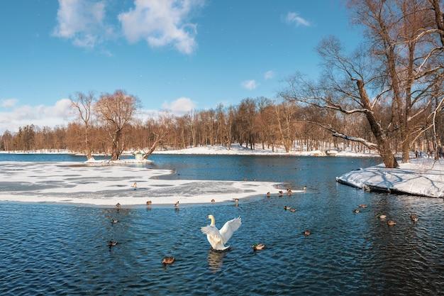 白鳥が春の公園で羽ばたく