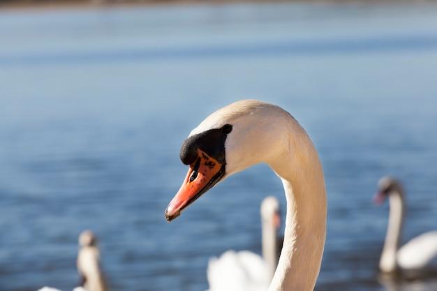 野生に浮かぶ白い白鳥