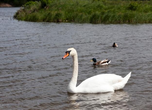 水に浮かぶ白い白鳥、夏の湖の水鳥