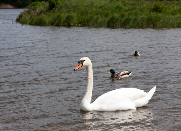 White swan floating on the water, a waterfowl in the summer on the lake