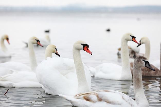 샘물에 하얀 백조 무리. 물에 백조입니다. 하얀 백조. 물 위에 떠 있는 아름다운 하얀 백조. 먹이를 찾는 백조. 선택적 초점.