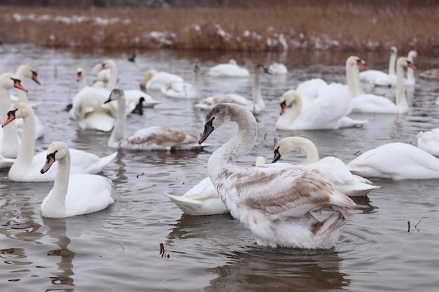 白鳥が湧き水に群がる。水中の白鳥。白い白鳥。水に浮かぶ美しい白い白鳥