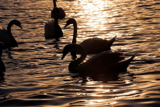 ホワイトスワングループ、春の美しい水鳥の白鳥、日没または夜明けの大きな鳥
