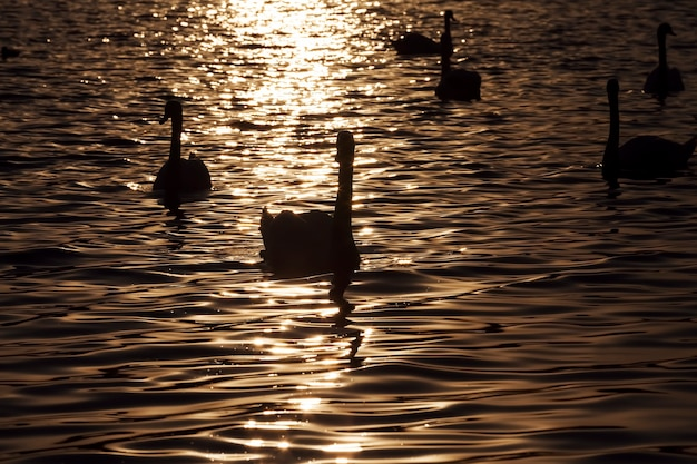 Группа белых лебедей, красивые водоплавающие лебеди весной, большие птицы на закате или восходе солнца на солнце, оранжевый цвет
