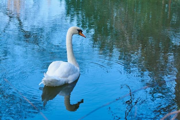 寒い公園の白い白鳥